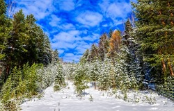 Snow in the autumn forest. Snowy autumn ofrest landscape. Snowy forest view. Snow cover forest landscape