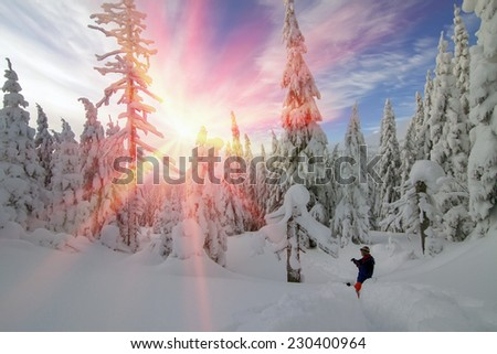 Snow in the beautiful wild fir forest covers the land Christmas, deep cover in the Alps or the Carpathians, hampering tourism, camping, travel, causing avalanches and windbreaks