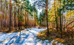 Snow in the spring forest. Forest snow path. Forest snow scene