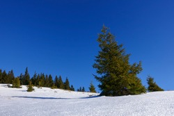 snow landscape with pinetrees and blue sky while hiking in the winter on a mountain