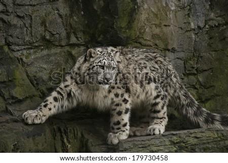 Stock Photo Snow Leopard