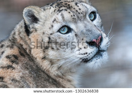 Snow leopard - a snow leopard. Poses. Nursery. Moscow region. Russia #1302636838