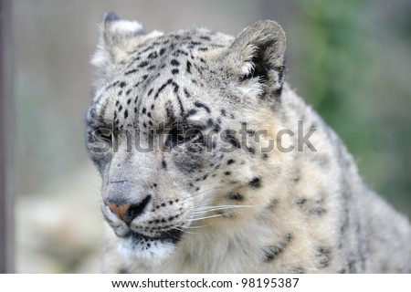 Stock Photo Snow leopard close-up of head