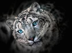 Snow leopard irbis - portrait