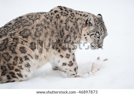 Snow leopard (lat. Uncia uncia) with his prey in the snow