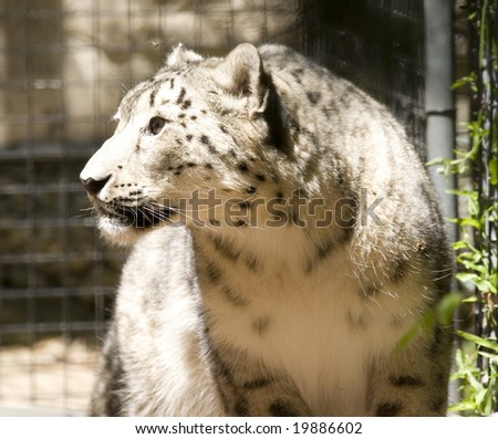 snow leopard research paper The snow leopard's powerful build allows it to scale great steep slopes with ease its hind legs give the snow leopard the ability to leap six times the length of its body.