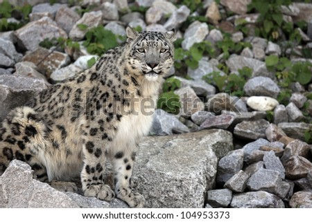 Snow Leopard - Panthera uncia - stock photo