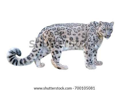 Snow leopard (Panthera uncia). Leopard, full figure with white background #700105081