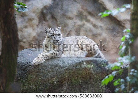 Stock Photo Snow leopard (Panthera uncia) magnificent animal, Hemis National Park, Kashmir, India. Wildlife scene from Asia. Detail portrait of beautiful big cat snow leopard, Panthera uncia. Animals in the rock.