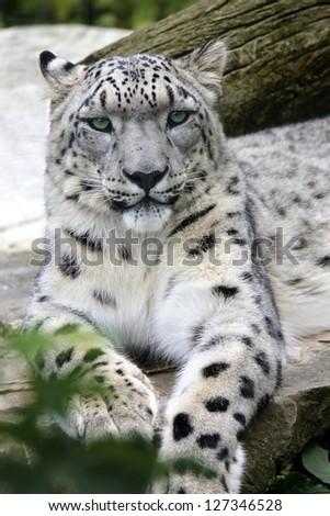 snow Leopard Portrait of a Snow Leopard