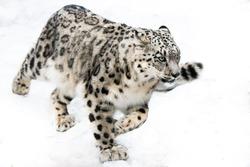 Snow Leopard Running in Snow