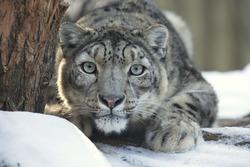 snow leopard, Uncia uncia, observing prey
