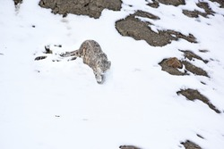 Snow Leopard walking in the snow for hunt