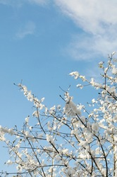 Snow like cotton balls on the branches on a sunny day in spring