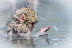 Snow monkey baby sits in a hot spring and looks at the snow on his hand, Jigokudani,Japan