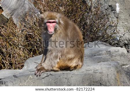 Snow Monkey, Macaca fuscata, captive