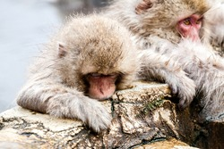 Snow monkey or Macaca fuscata from Jigokudani, Japan, Nagano Prefecture. Cute Japanese macaque sitting in a hot spring.