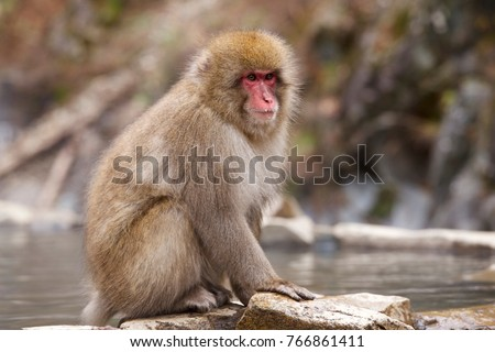 Snow monkeys from Jigokudani Monkey Park in Japan.  As a snow monkey entering a hot spring, It is widely known to people all over the world. Snow monkey park lives in celebrated monkeys in Nagano