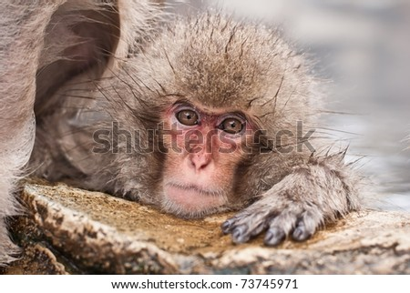 Snow Monkeys (Japanese Macaque) chilling in Jigokudani Monkey Park (Nagano, Japan) - stock photo