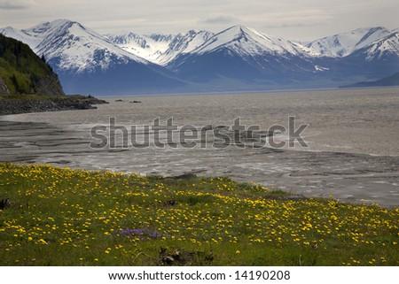 Snow Mountain Range ocean yellow flowers, seward highway, anchorage, Alaska