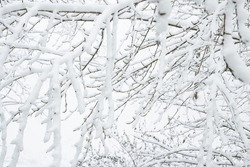 Snow on branches while snowing. Snow on branches.