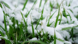 Snow on green grass, green grass in spring. Melting snow on a green lawn. Snowy lawn.