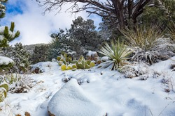 Snow on the Finger Rock hiking trail in the Coronado Forest north of Tucson, Arizona in the Catalina Mountains on the way to Mount Kimball. Snowy landscape in winter. Prickly pear cactus and yucca.