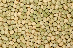 Snow pea seeds, background, from above. Also Chinese pea or pois mangetout, an edible-pod pea with flat pods and thin pod walls. Dried fruits of Pisum sativum used for sprouting. Backdrop. Food photo.
