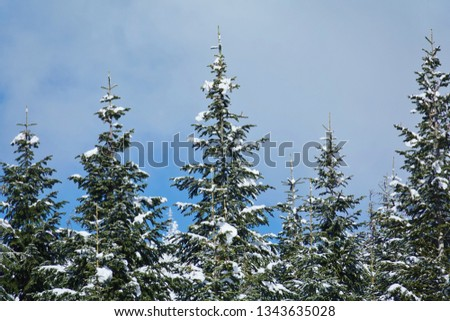 Snow tipped evergreen branches on tree tops closeup in beautiful winter scene with blue sky white cloud background from Washington state Cascade Mountains in Mount Baker Snoqualmie National Forest. #1343635028