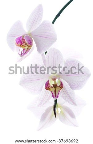 Snow white orchids isolated background