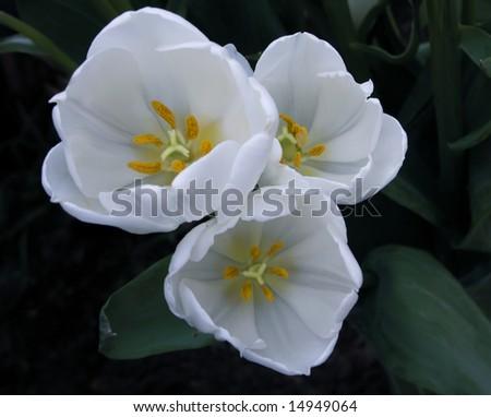 Snow White Tulips