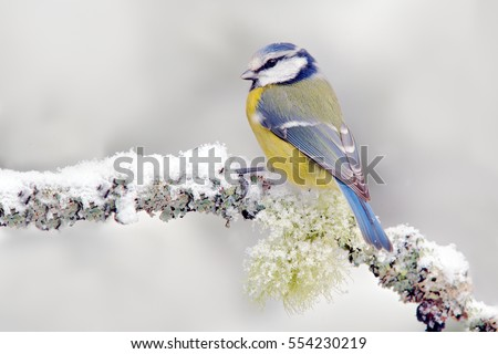 snow winter with cute songbird. ...