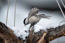 Snow winter with cute songbird. Bird Tit in forest, snowflakes and nice lichen branch. Wildlife scene from baikal lake zone in siberia, Russia
