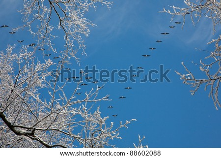 Snow wrapped alder branch and flock of geese flying over in background against blues sky