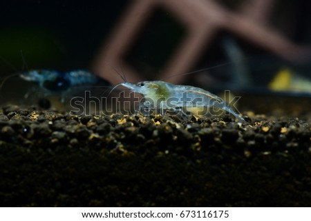 Snowball  dwarf shrimp that bleary background.Shrimp in freshwater. Aquartic animals. #673116175