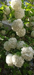 Snowball tiny flowers in clusters on branches of a shrub. Spherical clumps of white flowerets with green,spring leaves on branches. Ball-shaped clusters of double, white blooms. Guelder-rose flowering