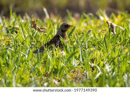snowbird on the green grass in spring Stock fotó ©