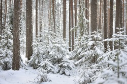 Snowcovered pine tree forest on a sunny winter day in Russia