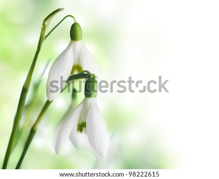Snowdrop flowers closeup on white