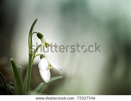 Snowdrop flowers in the forest