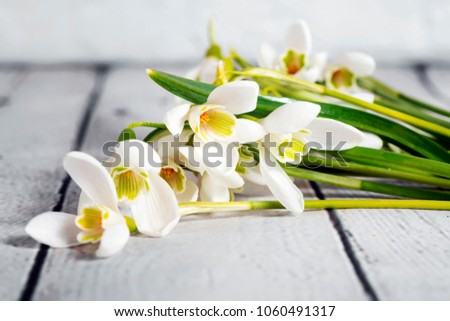 Snowdrop flowers isolated on gray background