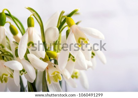 Snowdrop flowers isolated on white background