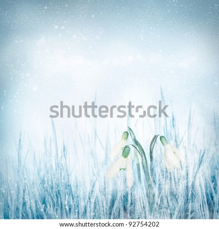 Snowdrop Galanthus flowers on winter bokeh background.