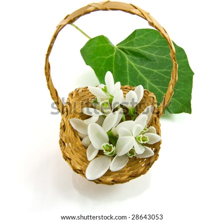 Snowdrop in basket on white background - stock photo