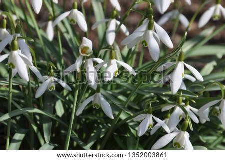 Snowdrop in the garden #1352003861