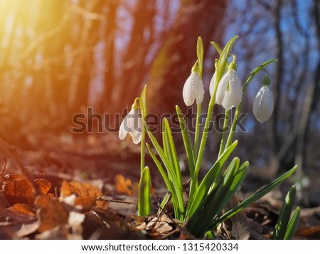 Photo of  Snowdrop or common snowdrop (Galanthus nivalis) flowers
