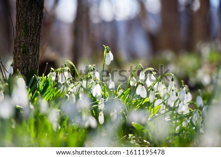 Photo of  Snowdrop or common snowdrop (Galanthus nivalis) flowers.Snowdrops after the snow has melted. In the forest in the wild in spring snowdrops bloom.