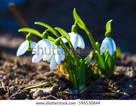 Snowdrop. Snowdrop (galanthus). First spring flowers