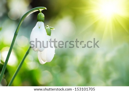 Snowdrop- spring white flower with bright shiny sun