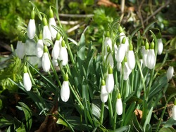 Snowdrop whiteflowers galanthus beauty fresh